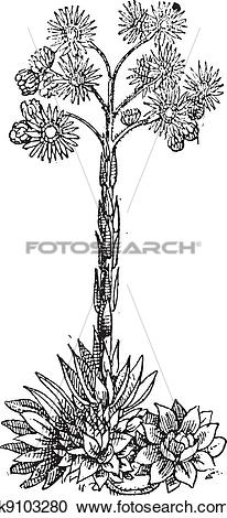 Clipart of Houseleek (sempervivum venustum) or Liveforever.