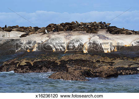 Stock Photography of Hout Bay Cape Fur seal colony. x16236120.