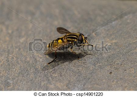 Clip Art of Hover Fly.
