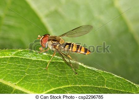 Stock Images of Hover Fly.