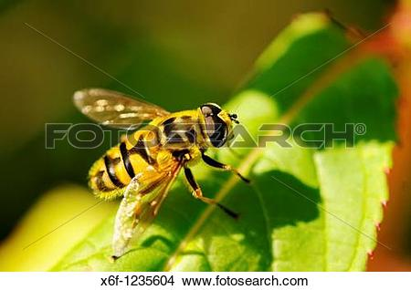 Stock Photo of Hoverfly, Myathropa florea, Syrphidae x6f.