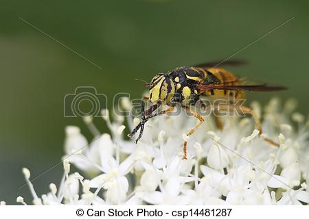 Pictures of Hover Fly Pollinatiing an Alternate.