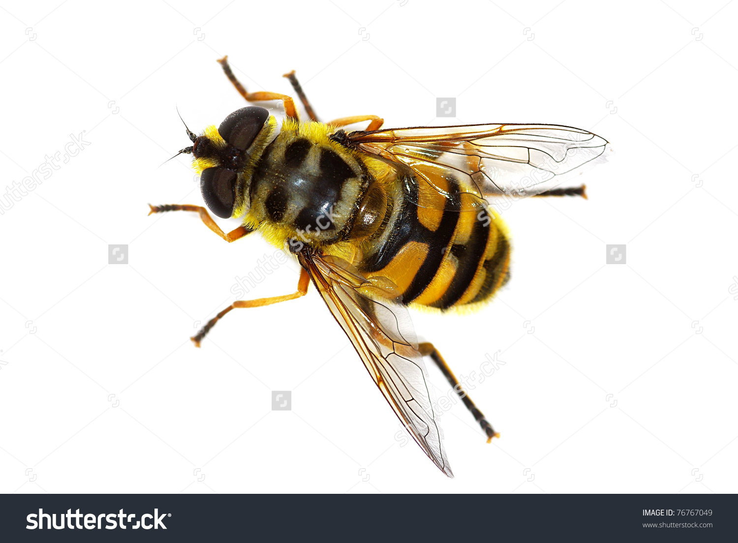 Hover Fly Myathropa Florea (Syrphidae), Simulating A Bee Stock.