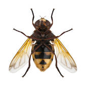 Picture of hornet mimic hoverfly / Volucella zonaria 162817.