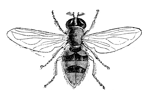 Hover Fly Clip Art, Vector Images & Illustrations.