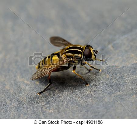 Stock Illustration of Hover Fly.
