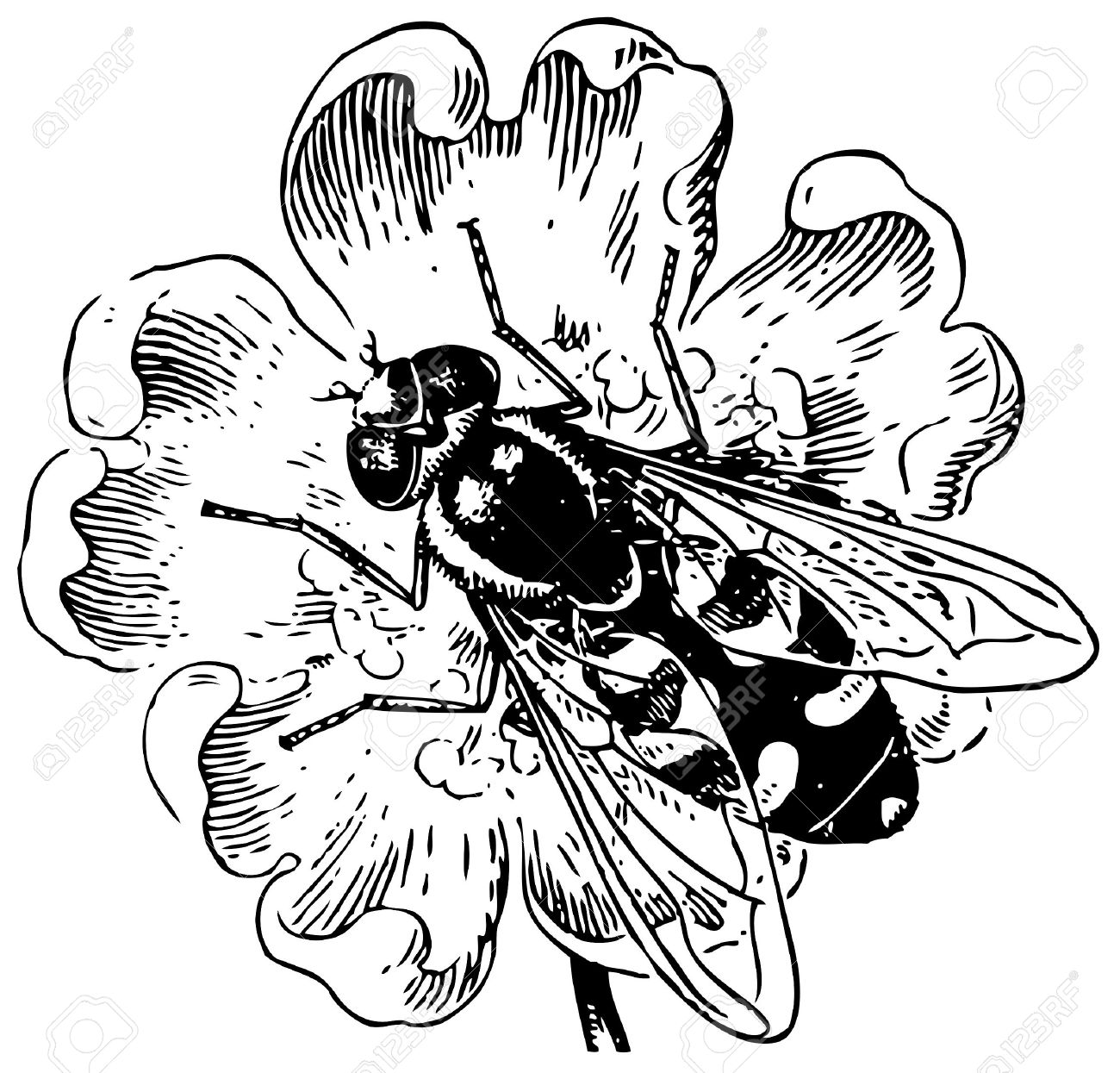 Hover Fly Syrphidae Royalty Free Cliparts, Vectors, And Stock.
