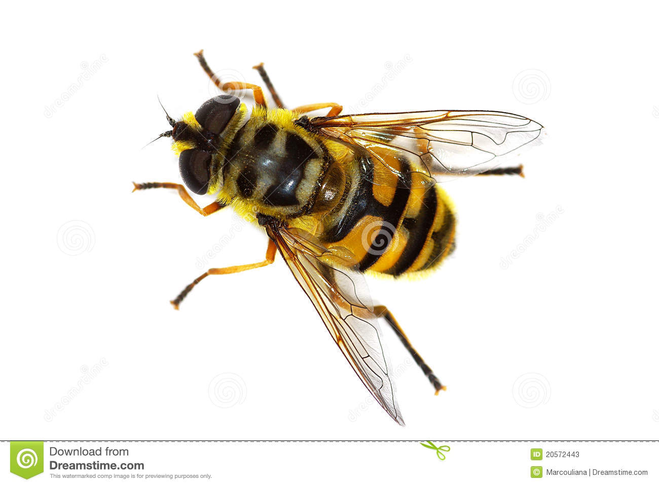 Hover Fly Myathropa Florea Stock Photos.