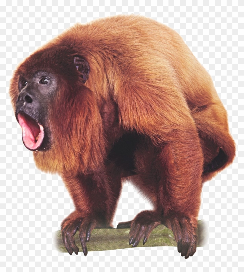 Howler Monkey, HD Png Download (#560757), Free Download on Pngix.