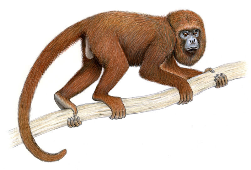Download northern brown howler monkey clipart Primate Brown howler.