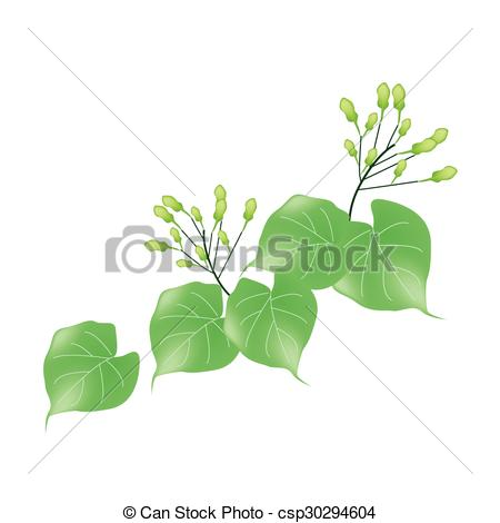 Vector Clipart of Hoya Carnosa or Madagascar Jasmine on White.