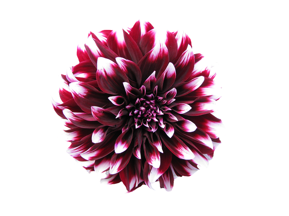 Free collection of Png transparent background flower. Download.