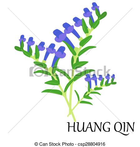 Vector Clip Art of huang qin.
