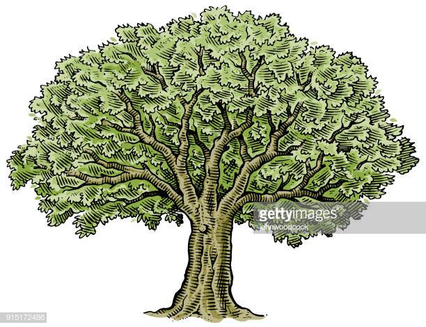 30 Top Oak Tree Stock Illustrations, Clip art, Cartoons and Icons.