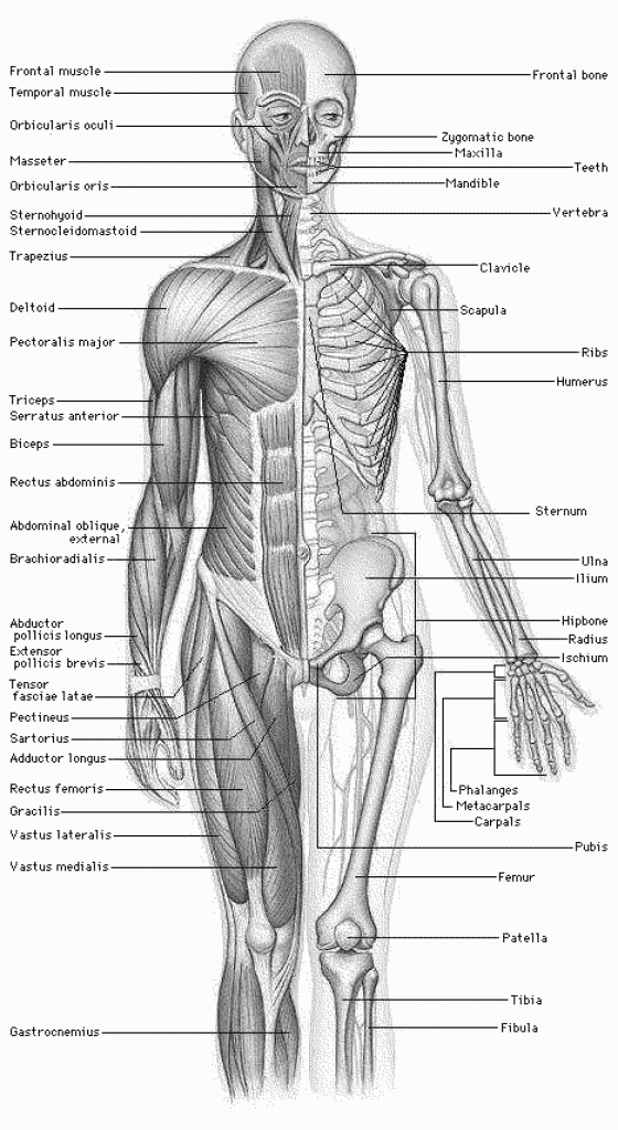 human anatomy clipart free human anatomy clipart free anatomy.
