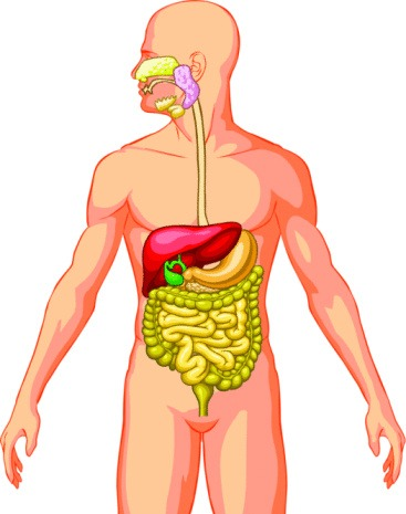 Free Pictures Of Body Organs, Download Free Clip Art, Free Clip Art.