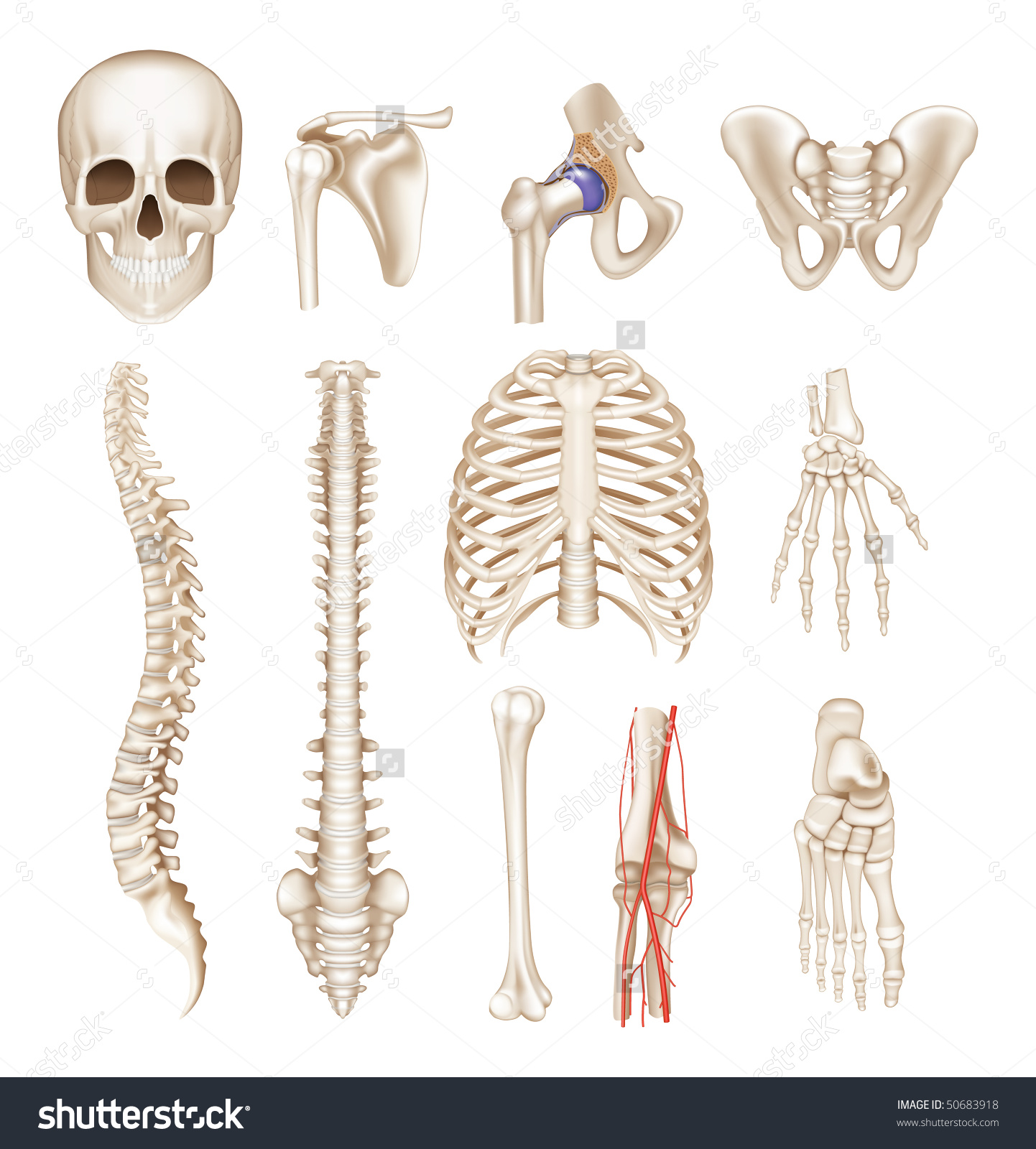 Human Bones Vector Set Stock Vector 50683918.