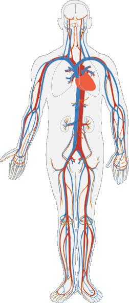 Cardiovascular System Clipart.