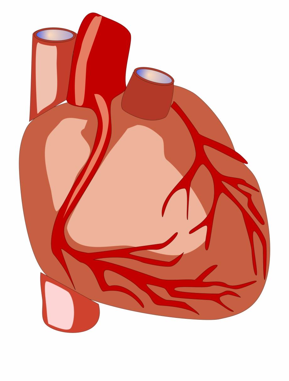Human Heart Vector File Image Human Heart Clipart.