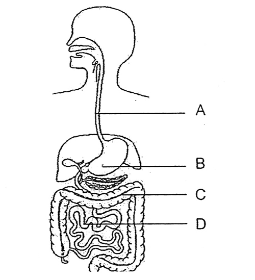 Human Digestive System Clipart