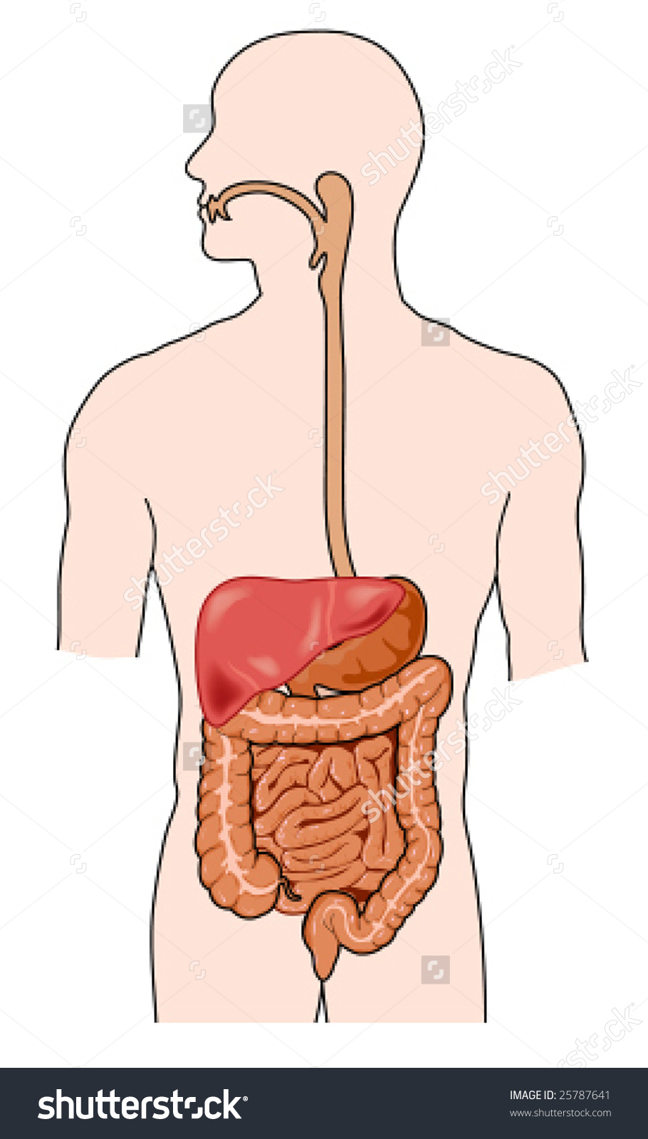 Human Digestive System Stock Vector 25787641.