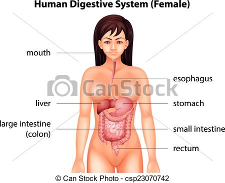 EPS Vector of Human digestive system of a female csp23070742.