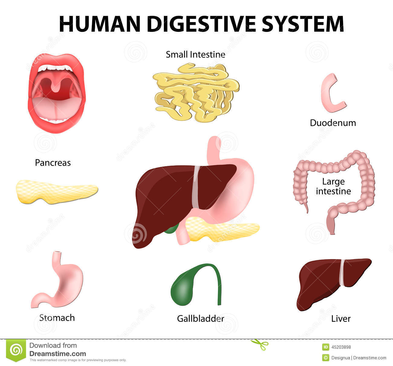 Free clipart digestive system.