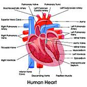 Human Heart Clipart Labeled.