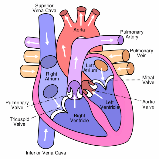 File:Heart labelled large.png.