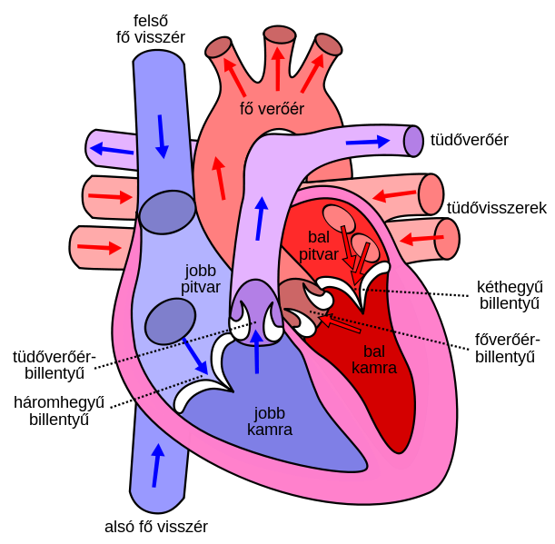 File:Diagram of the human heart hu.svg.
