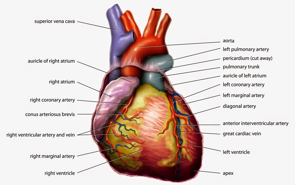 Related Pictures Parts Of The Human Heart Labeled Pictures.