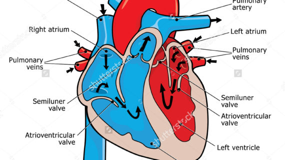 human heart clipart labeled 10 free Cliparts | Download ...