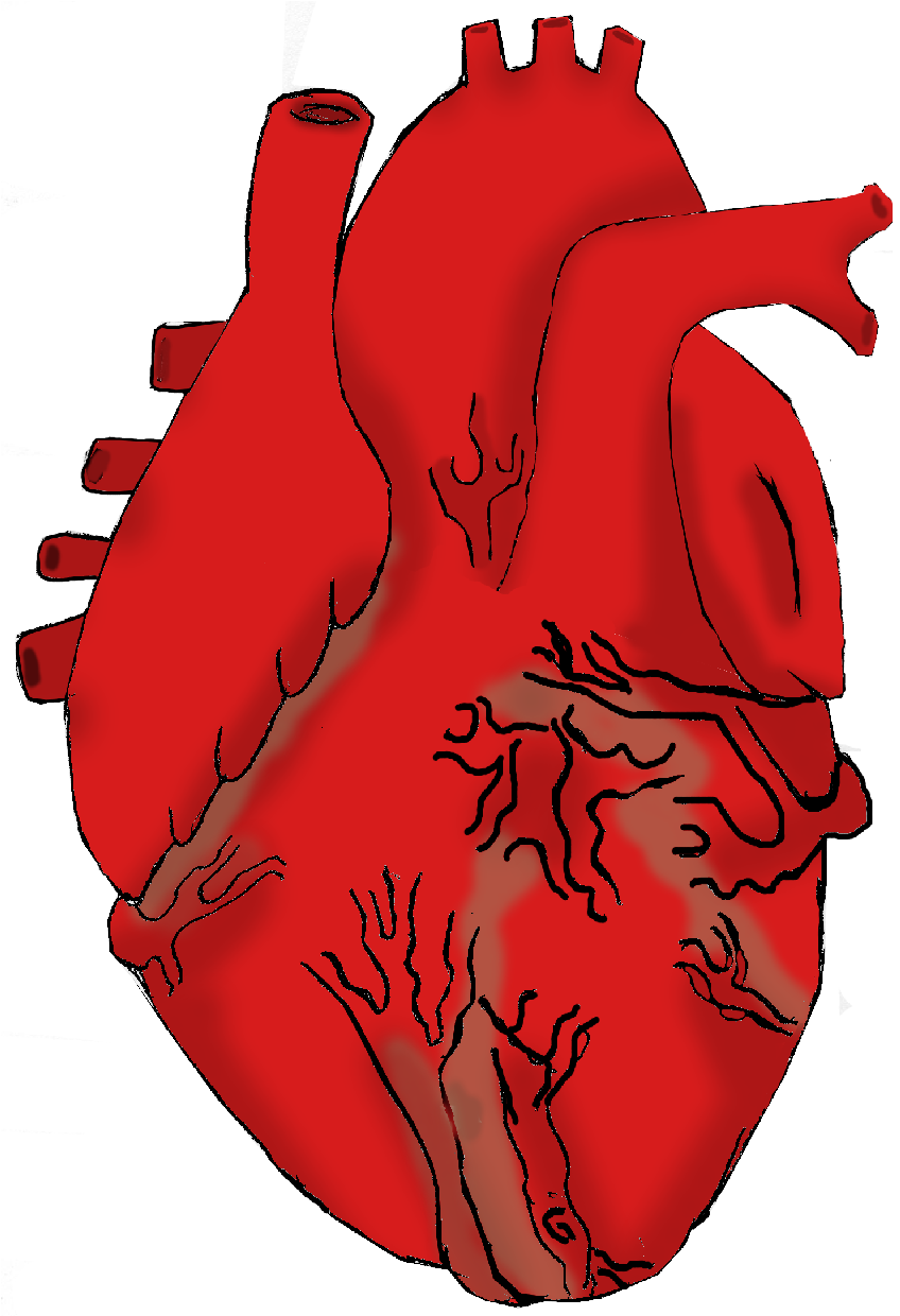 Real Heart Clipart & Real Heart Clip Art Images.