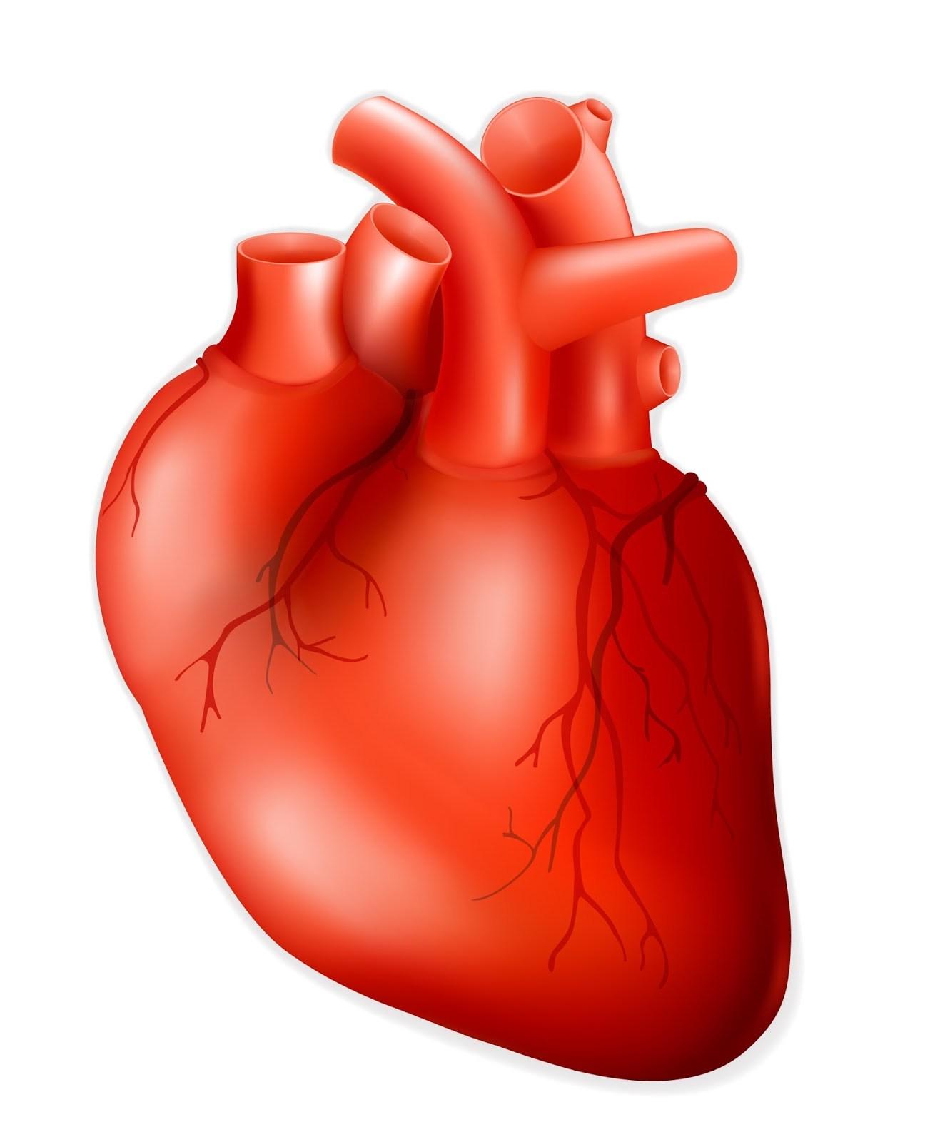 Human Heart Clipart at GetDrawings.com.