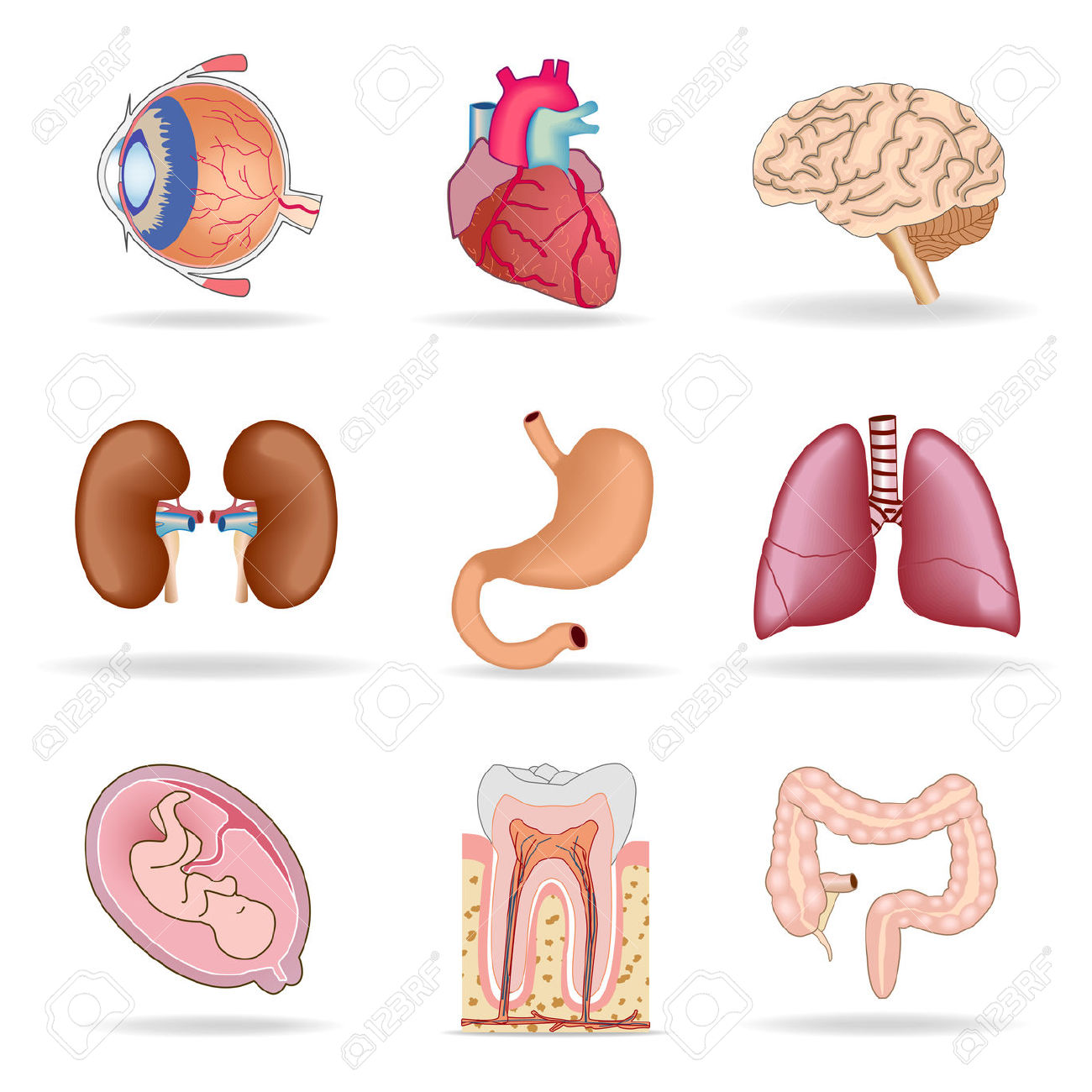 Human Internal Organ Clipart Clipground