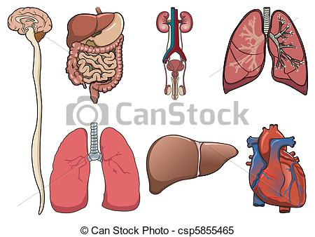 Human internal organ clipart - Clipground
