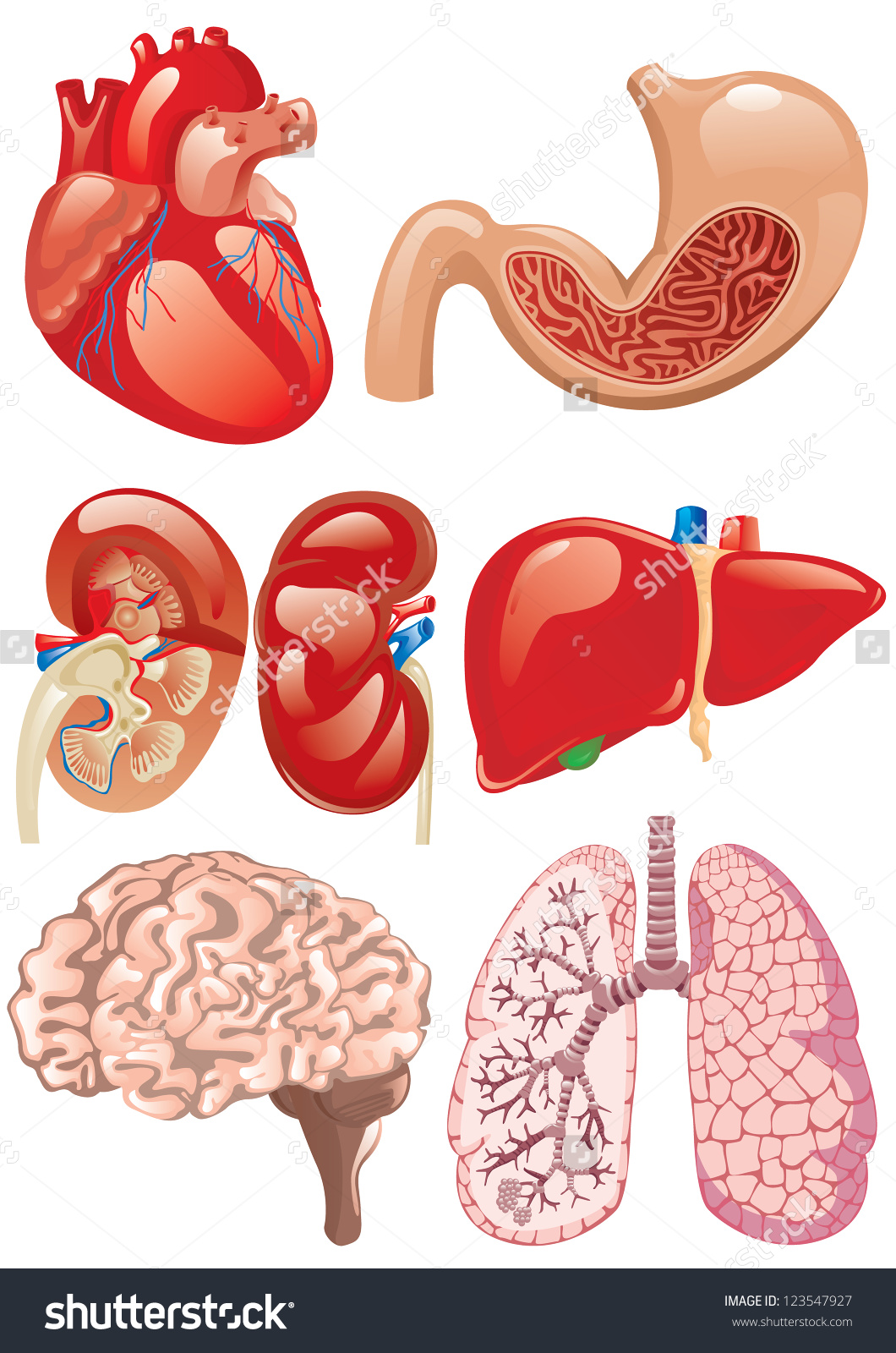 Pictures of internal organs