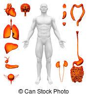 Human internal organ Stock Illustration Images. 8,839 Human.
