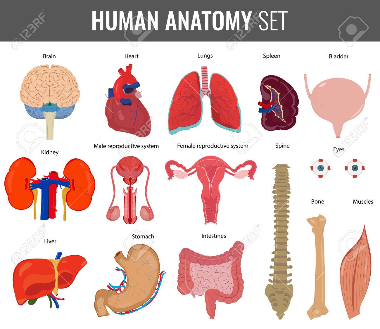 Human internal organs. Anatomy set. Vector icons.
