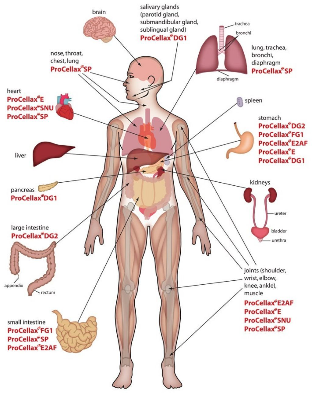 Human Body Anatomy Internal Organs Diagram.