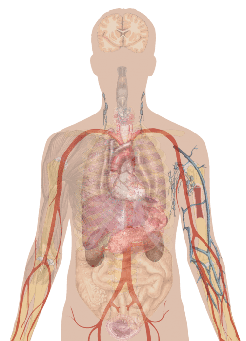 Human internal organs clipart images gallery for free download.