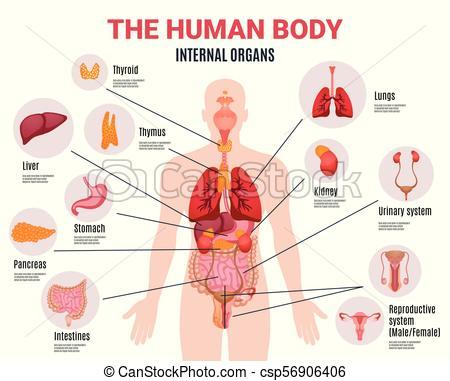 Human Internal Organs Infographic Poster.