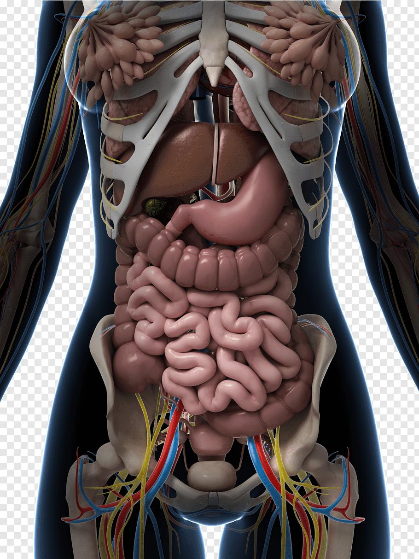 Human Internal Organs Diagram Clipart 10 Free Cliparts