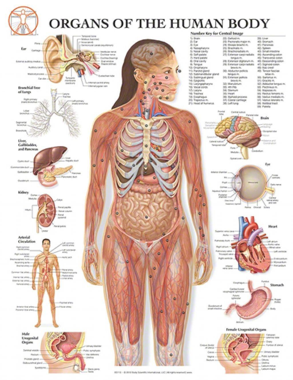 Diagram Of Internal Organs Human Body . Diagram Of Internal.