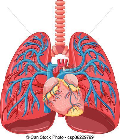 Human lungs clipart 2 » Clipart Portal.