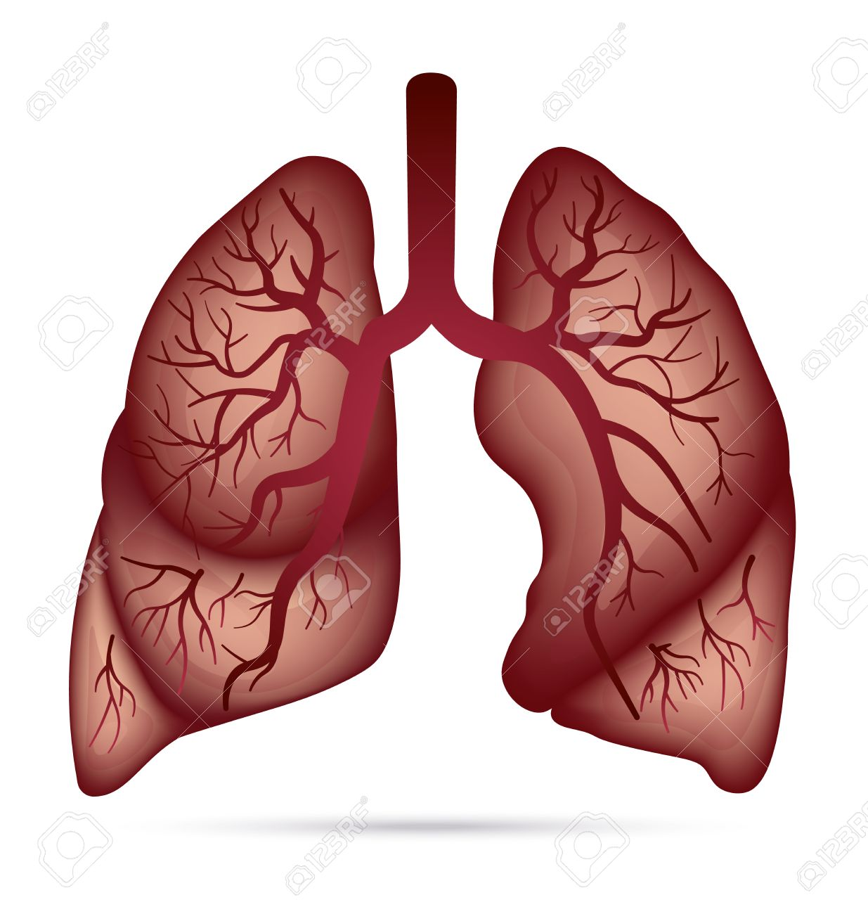 Human lungs anatomy for asthma, tuberculosis, pneumonia. Lung...