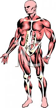 Human Muscle Clipart.