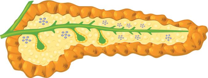 Pancreas clip art.