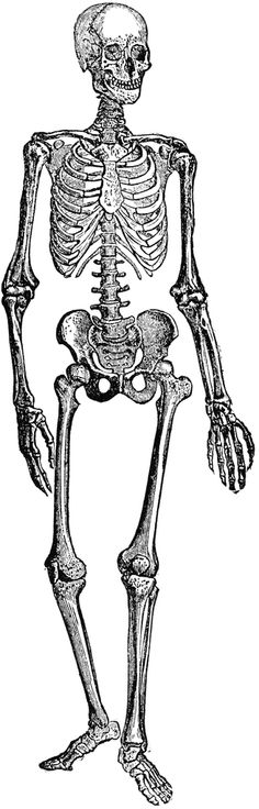 Human skeleton clipart etc 3.