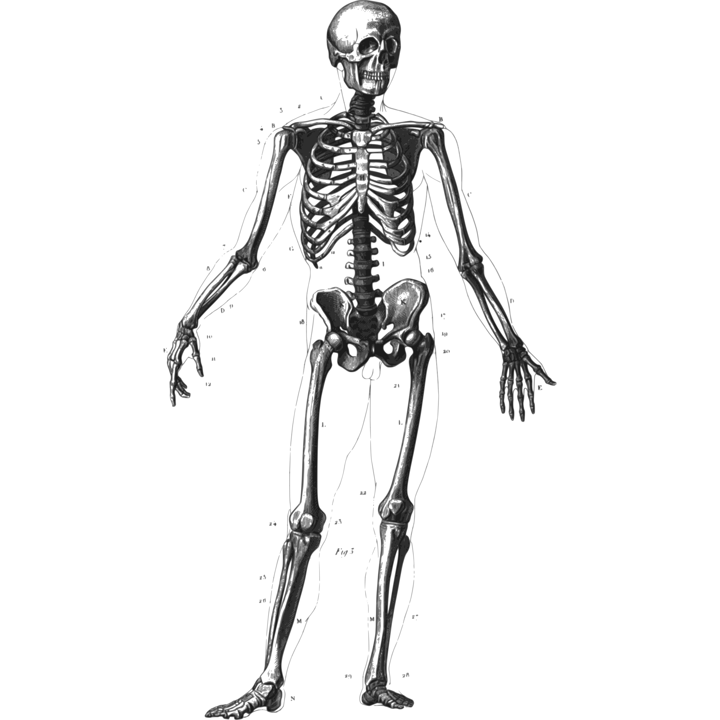Human Skeleton Clipart Clipground